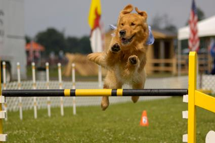 Agility Course For Dogs Dog Agility
