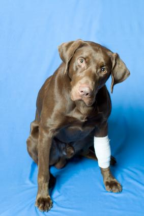 First Aid Bandaging Techniques http://www.bustersdoghouse.com/dog-first-aid.html