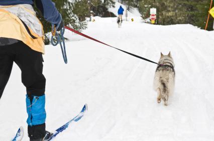 Skijoring Dog