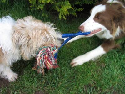 doggie tug of war