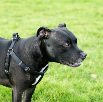 harness doggie