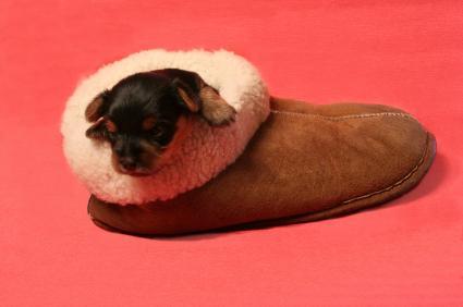 tiny dog, big shoe